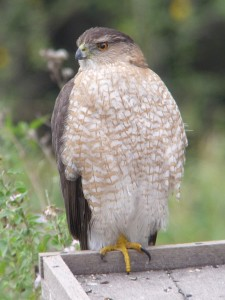 Adult Cooper's Hawk. © Anouk Hoedeman