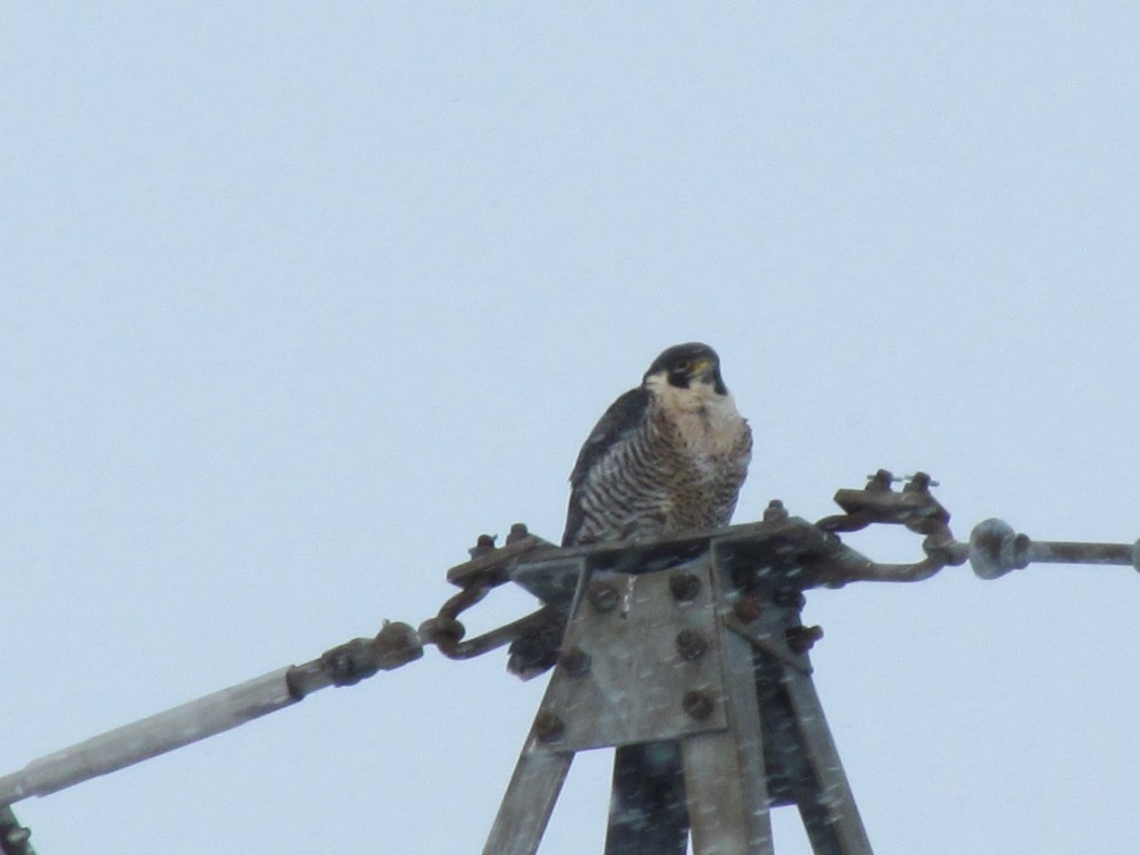 Peregrine near the General Hospital, Dec. 15, 2013.