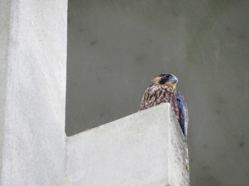 Soaked Peregrine chick