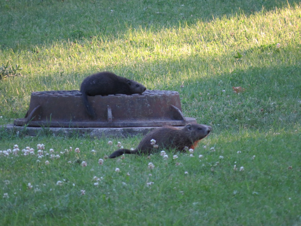 Groundhogs.
