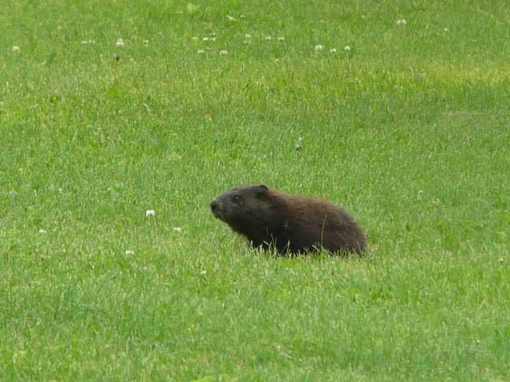 Melanistic groundhog, June 30, 2015